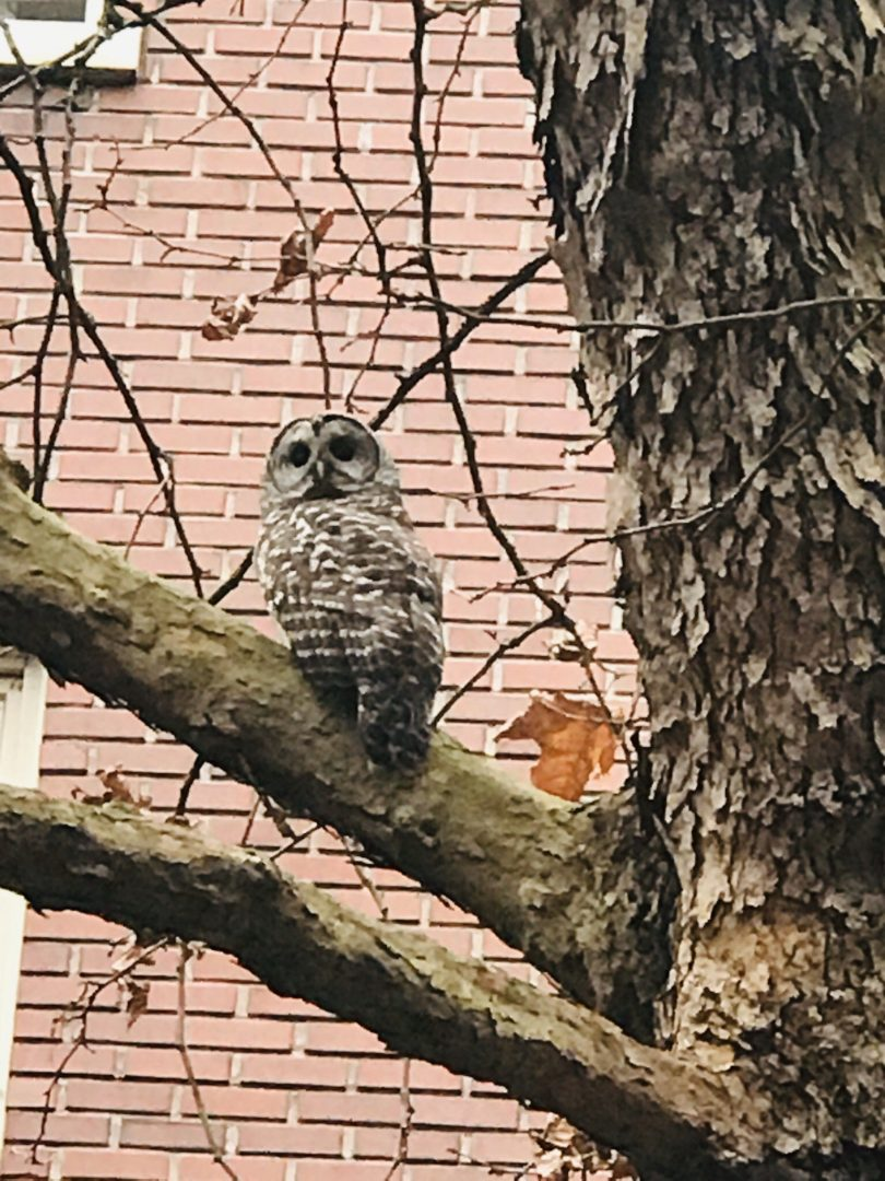 barred owl in tree in front of St. Paul's Hospital
