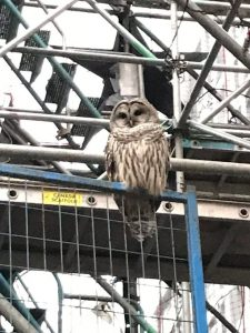 barred owl on fence in front of St. Paul's Hospital